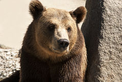 Grizzly bear head full face. Young female grizzly bear head full face stock photo