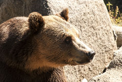 Grizzly bear head right profile. Young female rizzly bear head right profile stock images