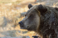 Grizzly Bear Head Shot Close Up Royalty Free Stock Images