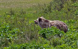 Grizzly Bear Heading for the Beach Royalty Free Stock Image