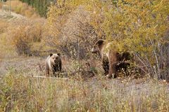 Grizzly bear with her cub in wild north America. Wild brown grizzly bear with her cub in beautiful landscape in north America stock images