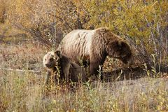 Grizzly bear with her cub in wild north America royalty free stock photos