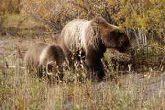 Grizzly bear with her cub in wild north America royalty free stock photography