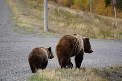 Grizzly bear with her cub in wild north America. Wild brown grizzly bear with her cub in beautiful landscape in north America royalty free stock photo