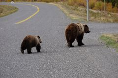 Grizzly bear with her cub in wild north America stock photography