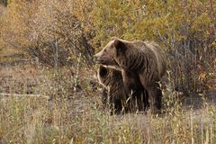 Grizzly bear with her cub in wild north America stock images