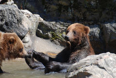 Grizzly Bear Holding on To His Feet Stock Images