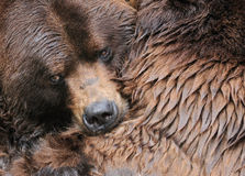 Grizzly bear hug Royalty Free Stock Image