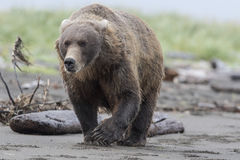 Grizzly Bear. Royalty Free Stock Image