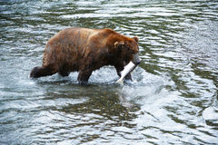 Grizzly bear hunting salmon Royalty Free Stock Photography