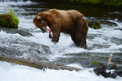 Grizzly bear hunting salmon Royalty Free Stock Photos