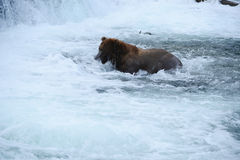 Grizzly bear hunting salmon Stock Photo