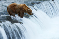 Grizzly bear hunting salmon Stock Photography