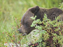 Grizzly Bear In Rose Hips Stock Photo