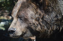 Grizzly Bear. A grizzly bear with its hibernation fat Stock Photography