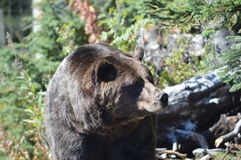 Grizzly Bear. A grizzly bear with its hibernation fat Royalty Free Stock Image