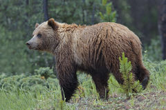 Grizzly Bear - Jasper National Park Royalty Free Stock Image
