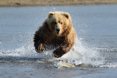 Grizzly Bear. Jumping at fish, running towards camera royalty free stock image