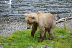 Grizzly bear in katmai Stock Photo