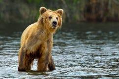 Grizzly bear. Katmai National Park in Alaska Stock Image