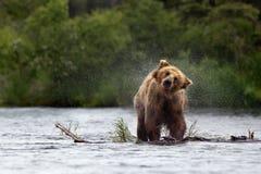 Grizzly bear. Katmai National Park in Alaska Stock Photos