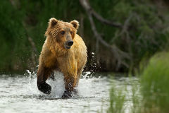 Grizzly bear. Katmai National Park in Alaska Royalty Free Stock Photos