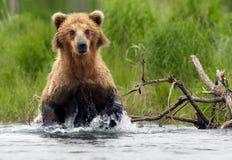 Grizzly bear. Katmai National Park in Alaska Stock Photography