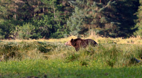 Grizzly bear. In Knight Inlet in Canada Royalty Free Stock Photography