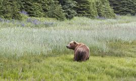 Grizzly Bear in the Landscape Stock Photos