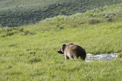 Grizzly Bear in landscape picture. Grizzly bear walking by stream in Yellowstone National Park royalty free stock image