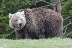 Grizzly Bear. Large grizzly brown bear watching on side of road with trees in the background Royalty Free Stock Photography