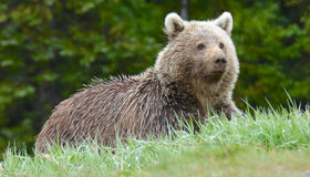 Grizzly Bear. Large grizzly brown bear watching on side of road with trees in the background Stock Photography