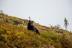 Grizzly bear at the Top of the world Highway, Dawson City - Alaska border, Yukon, Canada stock photos