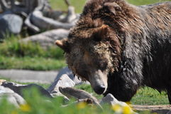 Grizzly Bear. Large grizzly bear searching for food near Yellowstone Royalty Free Stock Photo