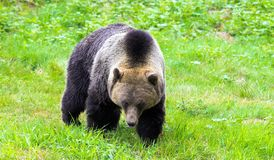 Grizzly Bear. The grizzly bear is a large subspecies of brown bear inhabiting North America. Scientists generally do not use the name grizzly bear but call it Royalty Free Stock Photos