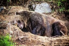 Grizzly Bear. The grizzly bear is a large subspecies of brown bear inhabiting North America. Scientists generally do not use the name grizzly bear but call it Royalty Free Stock Photography