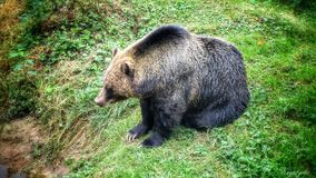 Grizzly Bear. The grizzly bear is a large subspecies of brown bear inhabiting North America. Scientists generally do not use the name grizzly bear but call it Royalty Free Stock Photo