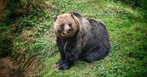 Grizzly Bear. The grizzly bear is a large subspecies of brown bear inhabiting North America. Scientists generally do not use the name grizzly bear but call it Stock Image