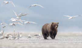 Grizzly bear leaving a, not fully eaten, salmon to seagulls. stock photography