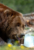 Grizzly Bear Licking. At bone incased in block of ice royalty free stock images