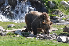 Grizzly Bear Lookin. This grizzly bear is searching for food among the rocks Stock Photos