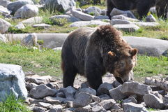 Grizzly Bear Lookin. This grizzly bear is searching for food among the rocks Royalty Free Stock Photo