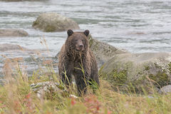 Grizzly Bear Looking at His Prey Royalty Free Stock Photography
