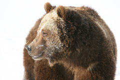 Grizzly Bear Looking into the rising sun Royalty Free Stock Photo