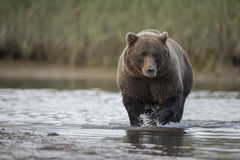 Grizzly Bear looking for Salmons. A Grizzly Bear looking for Salmons, in a creek, during low tide, Photo taken on August, 2016, Hallo Bay, Katmai National park Stock Photo