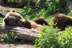 Grizzly bear. The lying adult grizzly bear stock photos
