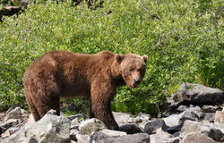 Grizzly bear male Stock Photo