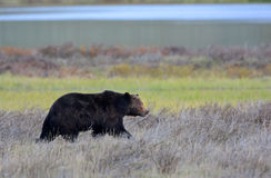 Grizzly Bear Male, Yellowstone National Park Royalty Free Stock Photos