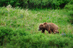 Grizzly bear in meadow Royalty Free Stock Images