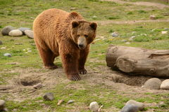 Grizzly Bear in meadow looking for food. Large grizzly bear in meadow of Montana Stock Photos